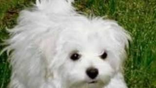 Bichon Maltese:ideal Flat Dog