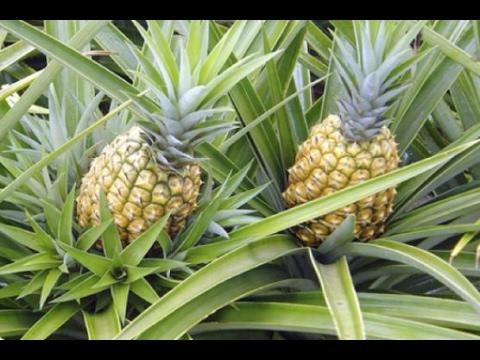 Proceso de cosecha y postcosecha de la pi a gold tvagro for En cuanto tiempo se cosecha la tilapia