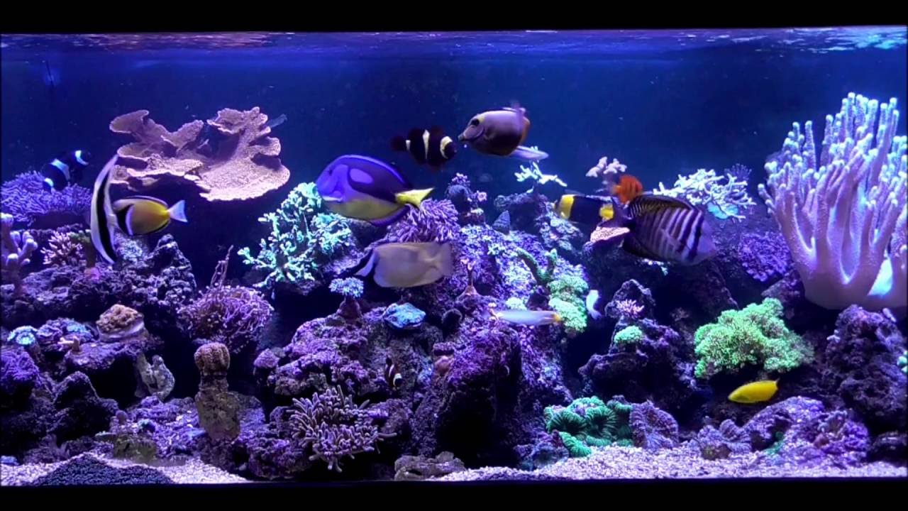 Moorish Idol Feeding In Reef Aquarium Youtube