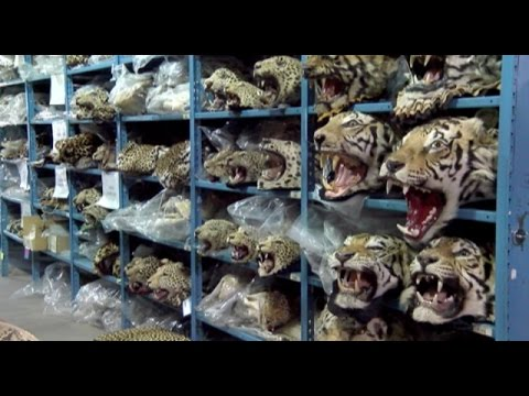 Horrific drive to Extinction II  -  Brutal Farming of endangered tigers for skin and bones
