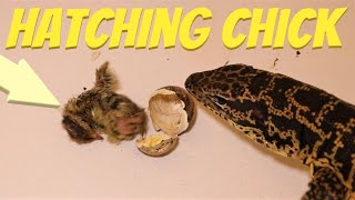 Chick hatches then gets eaten (live feeding)