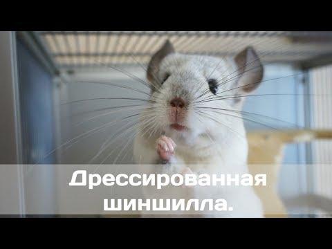 Видео: Дрессированная шиншилла.