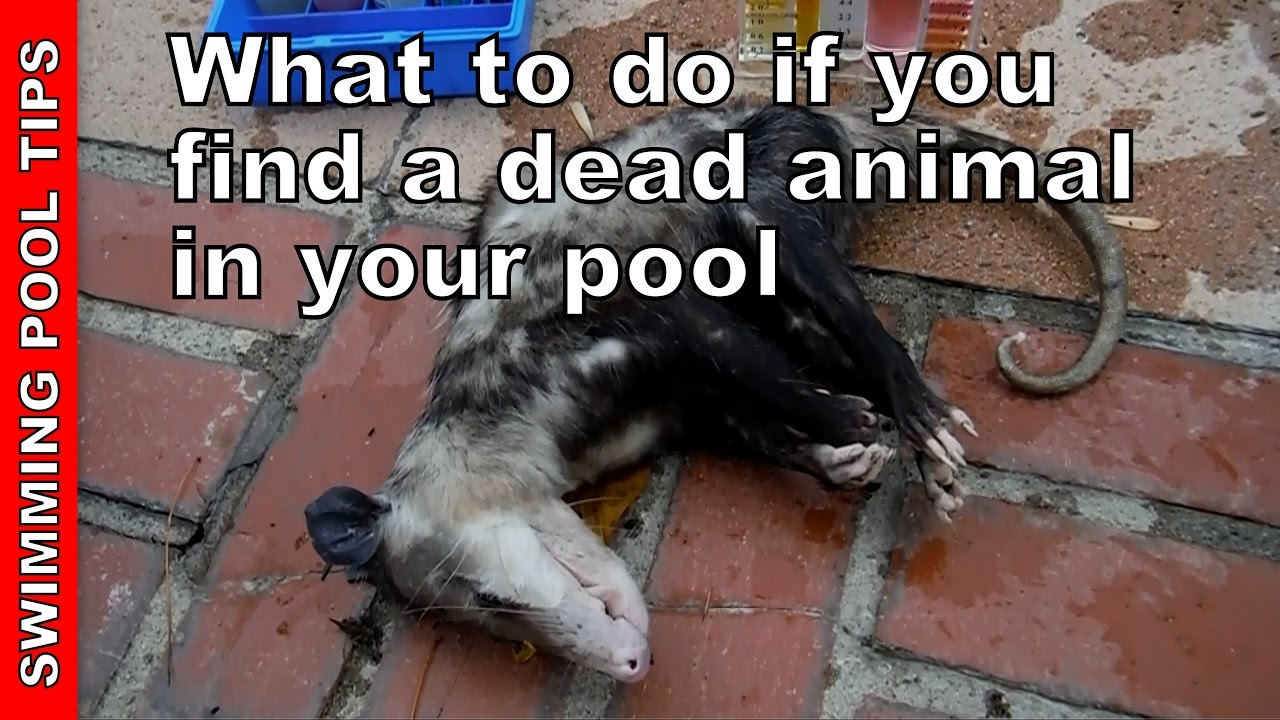 What to do if you find a dead animal in the pool youtube - How do i keep ducks out of my swimming pool ...