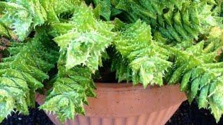 Suculentas de Fácil Cultivo para Iniciantes e Formas de fazer Vasos em Casa