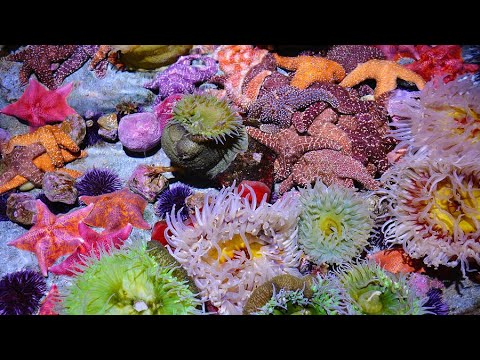 California Aquarium Of The Pacific FPV Walk Through Long Beach CA Corals Anemones Clown Fish LA Reef