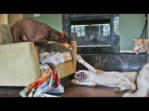 Dogo Argentino Learning to Play with Doberman Pinscher Teachers