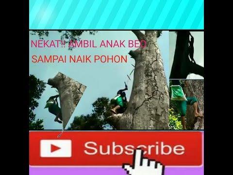 Mengambil anak beo di pohon durian