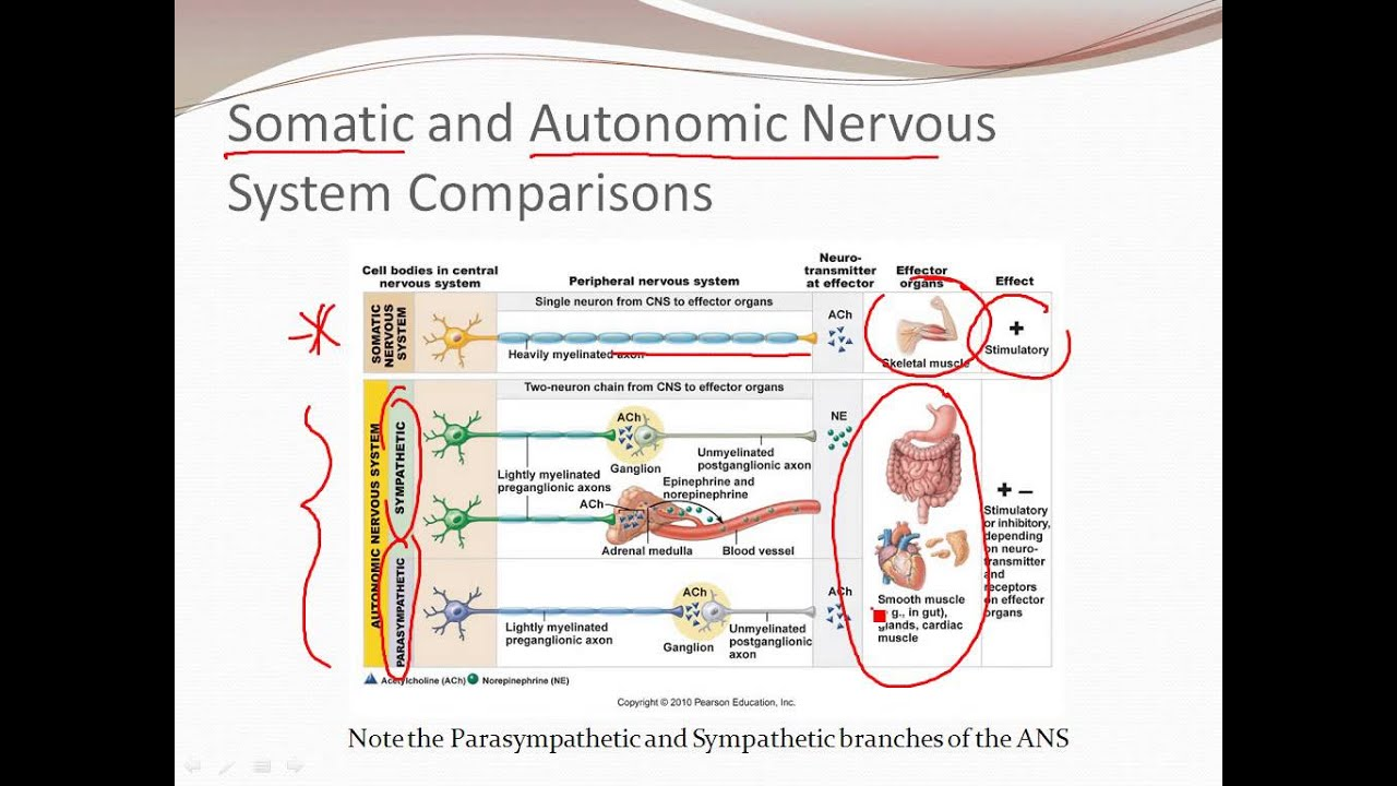 autonomic nervous system Autonomic nervous system n the part of the vertebrate nervous system that regulates involuntary action, as of the intestines, heart, and glands, and that is divided into the.