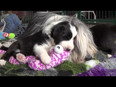 Bearded Collie puppies - 20 March 2019