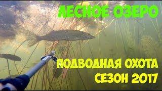 Подводная охота лесном озере. Хороший прозрак. Много щуки.