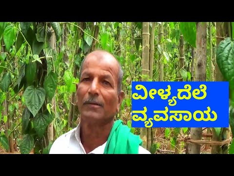 Betel leaf cultivation