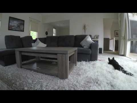 Frenchie destroys a pillow and plays in the feathers