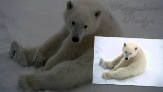 презентация белые медведи 1 класс