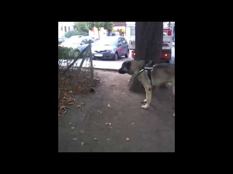kangal vs pitbull