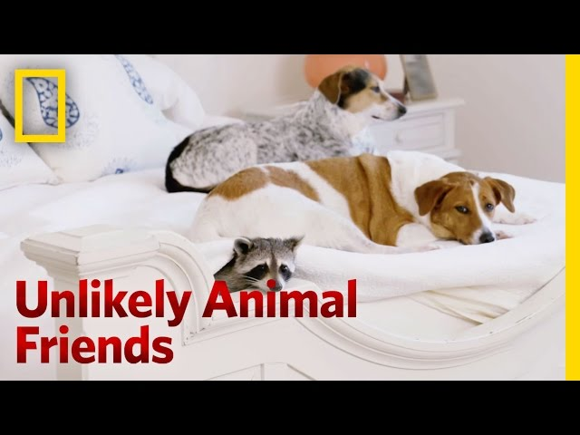 A Toilet Trained Raccoon | Unlikely Animal Friends