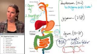Digestive System 6- Small intestine