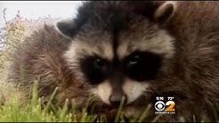 Increase In Rabid Animals Has Health Officials On The Watch