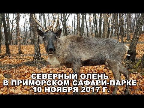 СЕВЕРНЫЙ ОЛЕНЬ В ПРИМОРСКОМ САФАРИ-ПАРКЕ 10 НОЯБРЯ 2017 Г.