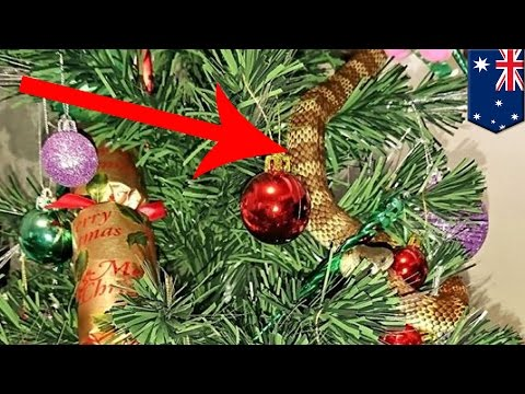 Snake in Christmas tree: Aussie woman finds venomous tiger snake on her Christmas tree - TomoNews