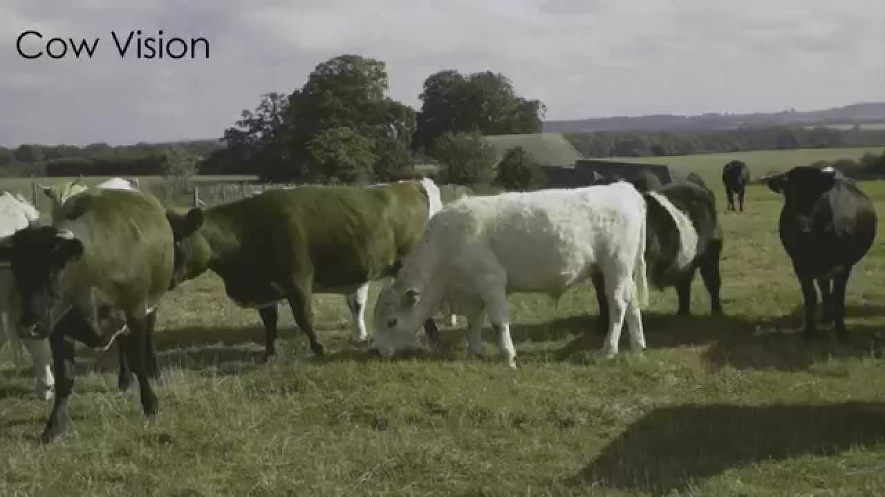 Human vision versus cattle vision - YouTube