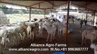 Stall fed Goat farm in Andhra Pradesh