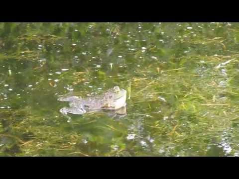 Bull Frog at Adkins Arboretum, Maryland
