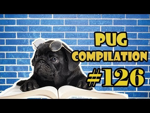 Funny Dogs but only Pug Videos | Pug Compilation 126 - InstaPugs - MIX 103-88