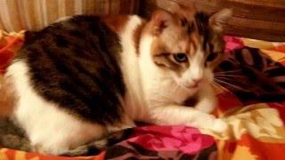 Анжела - трёхцветная кошка