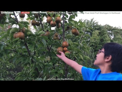 Korean Giant Olympic Asian Pear - Harvesting The Last Two Fruit Trees Amid This Year's Weird Weather