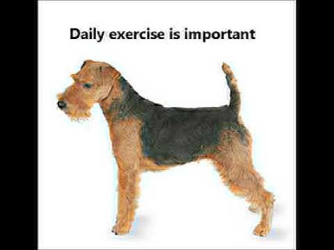 Welsh Terrier Puppies for Sale, by Pets4You.com