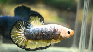 Paitune Betta  DSC 119 Giant HMPK  Male  size 2.5 inch up July 22 th