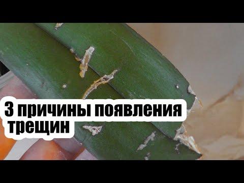 Почему у орхидеи лопнул лист по центру Трещины на листьях Что делать если лопнул лист у орхидеи