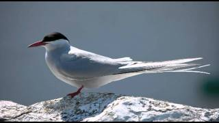 Video Taking a look at terns 1: Common vs Arctic Tern download MP3, 3GP, MP4, WEBM, AVI, FLV Agustus 2018