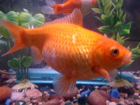 My goldfish is pregnant gassps youtube for Pregnancy and fish