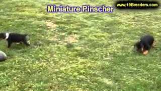 Miniature Pinscher, Welpen, Für, Verkauf, In, Nordrhein Westfalen, Deutschland, Bayern, Hessen