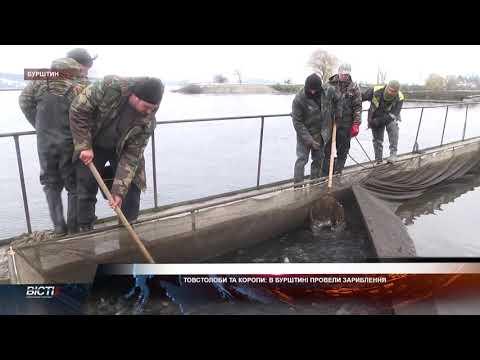 Товстолоби та коропи: в Бурштині провели зариблення