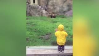 Lew atakuje dziecko! Uratowało się tylko dzięki....