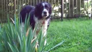 English Springer Spaniel:  Maessr Presents Bandit 9