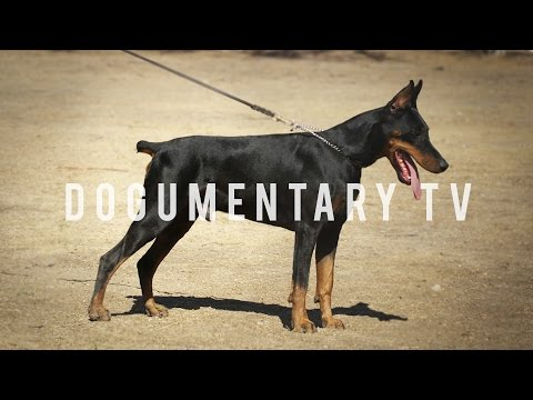 DOBERMAN PINSCHERS ARE THE WATCH DOG FOR THE WHOLE FAMILY