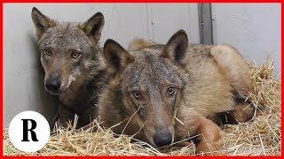 Storia dei lupi Ambrogio e Diana, dal salvataggio alla libertà