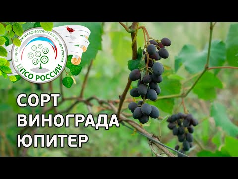 Виноград кишмиш Юпитер на 11 августа 2019 г. - Про Сорта