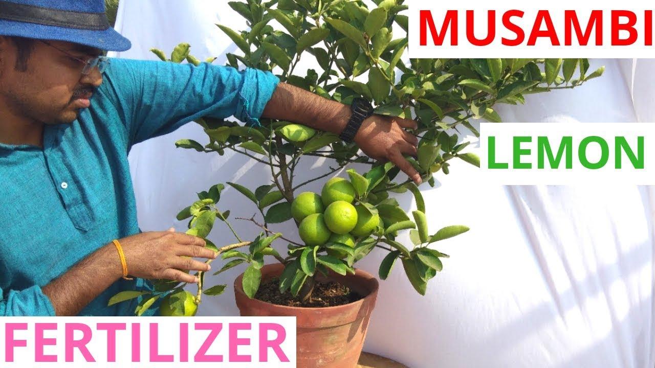 Best Organic Fertilizer For Lemon Plant Youtube