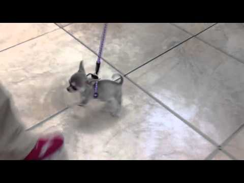 Blue Chihuahua Puppy-lily