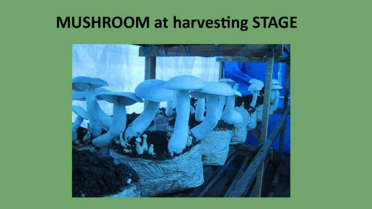 MUSHROOM MUSHROOMS CULTIVATION CLASSES KRMUSHROOMS KRMUSHROOMS COM