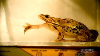 Soft, Sticky Frog Tongues Slurp Supper
