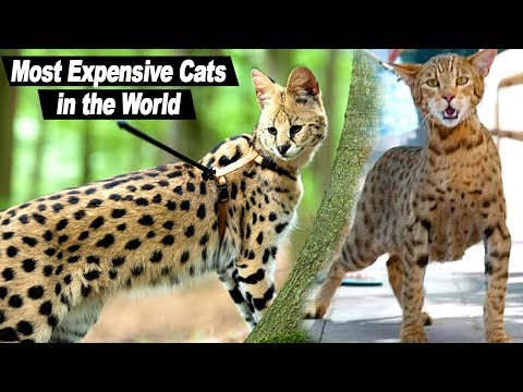 Top 10 Most Expensive Cat Breeds in the world. Animals, Animal Breeds, Animals Entertain