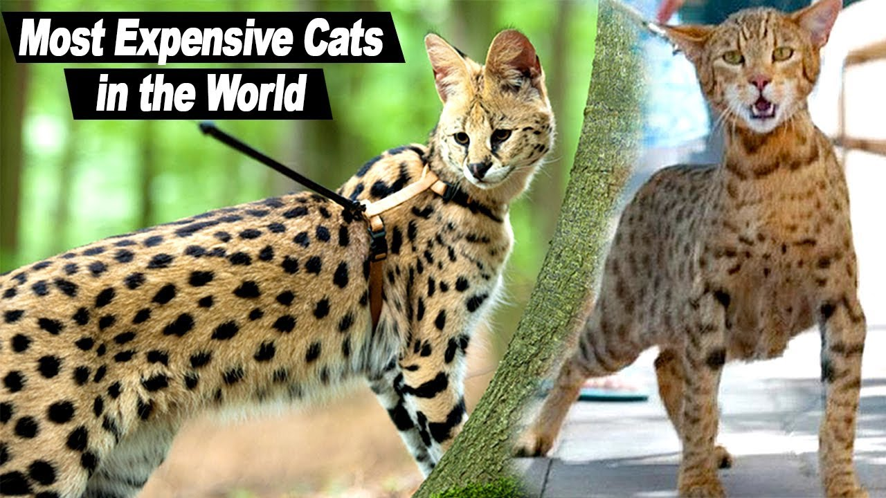 Top 10 Most Expensive Cat Breeds in the world. Animals ...