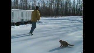 氷上にパックを追い追い走る猫、冬の遊びはアイスホッケー