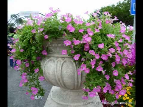 nice garden - petunia flowers