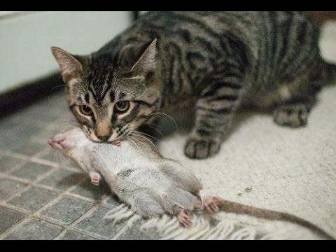 Фото крысы и кота
